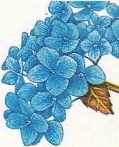 Цветы гортензии на кислотной почве синие, а на щелочной — розовые