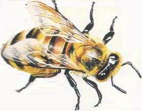 Пчелиный яд – кислота. Нейтрализовать её можно основанием