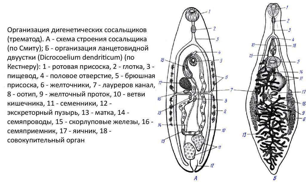 У печеночного сосальщика процесс размножения происходит в
