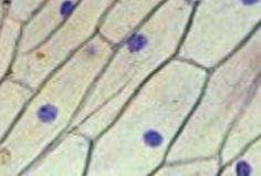 Клетки эпидермиса лука, длина около 130 мкм
