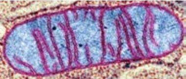 Митохондрия, размер 1 - 3 мкм