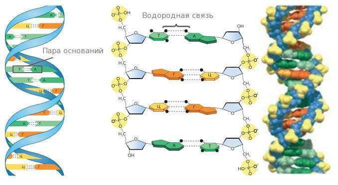 Модель молекулы ДНК – двойная спираль