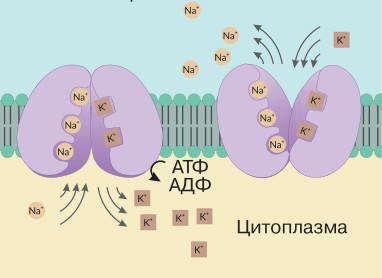 Принцип работы калий-натриевого насоса