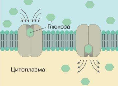 Принцип работы внутреннего белка, транспортирующего глюкозу