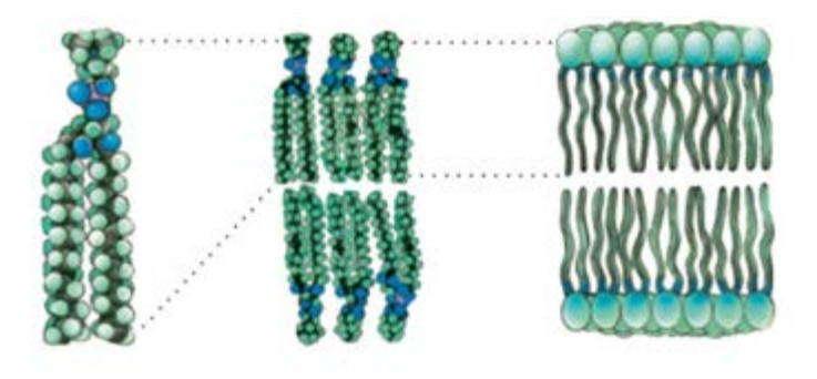 Схема расположения фосфолипидов в мембране