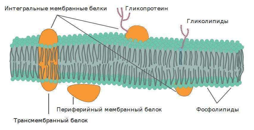 Схема строения плазматической мембраны