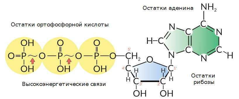 Структурная формула молекулы АТФ