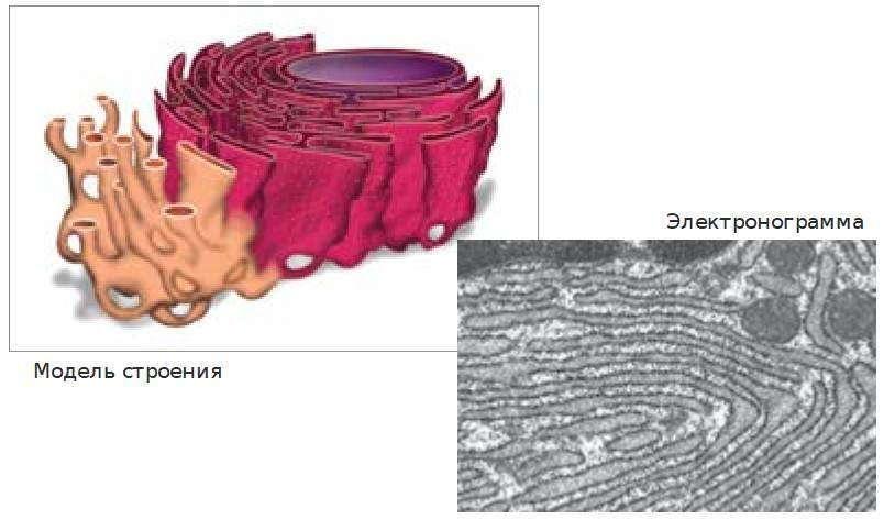 Гладкая и шероховатая эндоплазматическая сеть