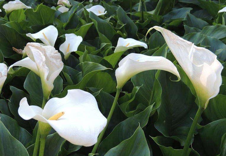 Какие растения называются однодольными